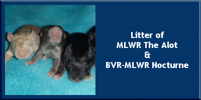 Litter of MLWR The Alot and BVR-MLWR Nocturne