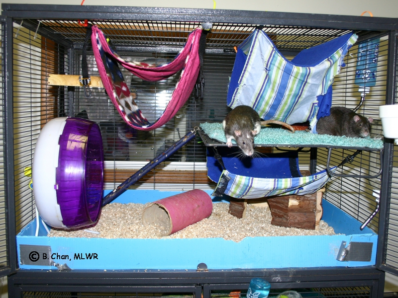 moonlit waters rattery - our rat care